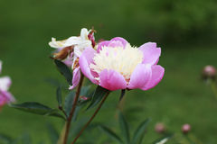 Pink and white Peony flower. In a garden Stock Images