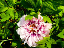 Pink and white Peony flowers blooming Royalty Free Stock Photography