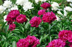Pink and white peony flowers at the flower-bed Stock Photography