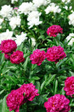 Pink and white peony flowers at the flower-bed Stock Photo