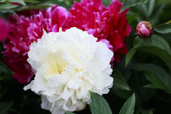 Pink and white Peony flowers. In a garden Royalty Free Stock Image