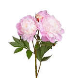 Pink and white peony flowers isolated Royalty Free Stock Image