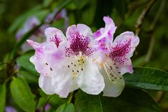 Pink and White Petaled Flower Stock Photo