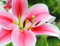 Pink and White Petaled Flower Stock Photography