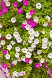 Pink and white petunia flower Stock Photography