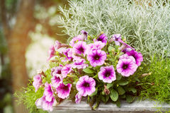 Pink and white petunia flowers blossom Royalty Free Stock Images