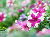 Pink and white petunia flowers Royalty Free Stock Photo
