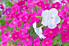 Pink and white petunia flowers Royalty Free Stock Image