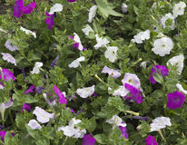 Pink and white petunia flowers Stock Photo