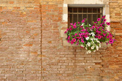 Pink and white petunia flowers on the windowsill of a brick Italian home. Pink and white petunia flowers hanging from the windowsill of an old brick Italian home Stock Photos