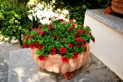 Pink and white petunias on the flower bed along with the grass royalty free stock images