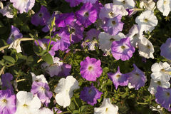 Pink and white petunias flowers Royalty Free Stock Photos