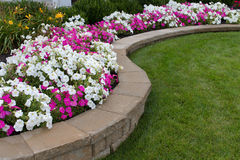 Pink and White Petunias. Peink and White petunias on the flower bed along with the grass Stock Images