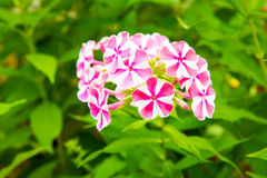 Pink  and white Phlox flower. Royalty Free Stock Images