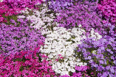 Pink and white phlox Stock Photography