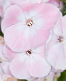 Pink and white phlox Stock Photos