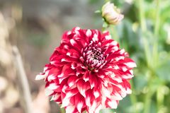 A pink white pincushion flower Scabiosa columbaria Related to species of sunflower, daisy, chrysanthemum, and zinnia. It is also royalty free stock photography