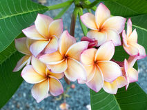 Pink and white plumeria stock photography