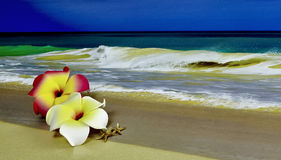 Pink and White Plumeria on the Beach with Starfish Stock Photography
