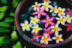 Pink and White Plumeria Blossoms. Floating in a jar with green leaves Stock Photography