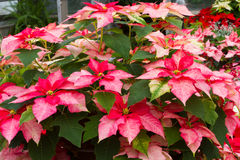 Pink and White Poinsettia. Pink and white Poinsietta flowers in the garden Stock Image