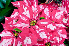 Pink and white poinsettias Stock Photos