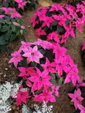 Pink and white poinsettias. At Christmas stock photo