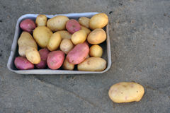 Pink and white potatoes of local varieties grown on an ecological farm. Using natural organic fertilizers from cow and chicken manure royalty free stock photo