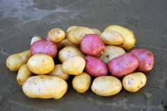 Pink and white potatoes of local varieties grown on an ecological farm. Using natural organic fertilizers from cow and chicken manure royalty free stock photos