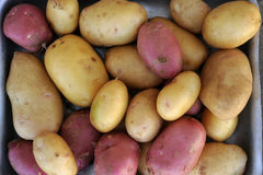 Pink and white potatoes of local varieties grown on an ecological farm. Using natural organic fertilizers from cow and chicken manure stock photo