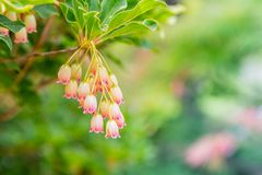 Pink and white princeton red bells stock image
