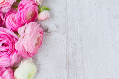 Pink and white ranunculus flowers Royalty Free Stock Photography
