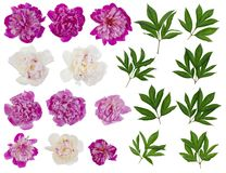 Pink and white real peonies  isolated Royalty Free Stock Image