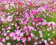 Cosmos flowers are blooming on the garden background, crop planting at Thailand stock photography