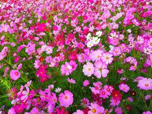 Cosmos flowers are blooming on the garden background, crop planting at Thailand stock image