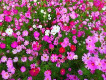 Cosmos flowers are blooming on the garden background, crop planting at Thailand stock photo