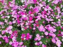 Cosmos flowers are blooming. stock photos