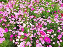 Cosmos flowers are blooming. royalty free stock photos