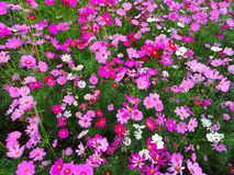 Cosmos flowers are blooming. stock photo