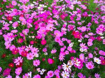 Cosmos flowers are blooming. royalty free stock photography