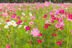 Pink white and red cosmos flowers garden,Blurry to soft focus an. D retro film look new color modern tone royalty free stock photography