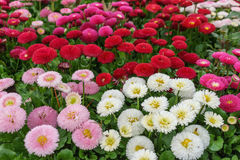 Pink, white and red English daisy flower in outdoor park day lig. Ht Royalty Free Stock Image