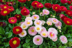 Pink, white and red English daisy flower in outdoor park day lig. Ht Royalty Free Stock Photo