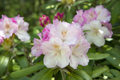 Pink and White Rhododendron Royalty Free Stock Images