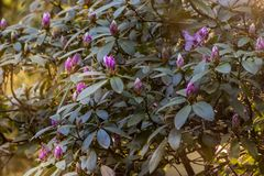pink flowering bush in the golden hour of morning stock photography