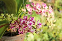 Pink white rhynchostylis  gigantea orchid flowers. Royalty Free Stock Photography