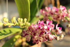 Pink white rhynchostylis  gigantea orchid flowers. Stock Photos