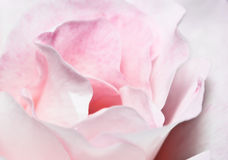 Pink and White Rose Royalty Free Stock Photos