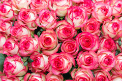 Pink and white rose background Royalty Free Stock Image