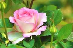 Pink with white rose Stock Photography